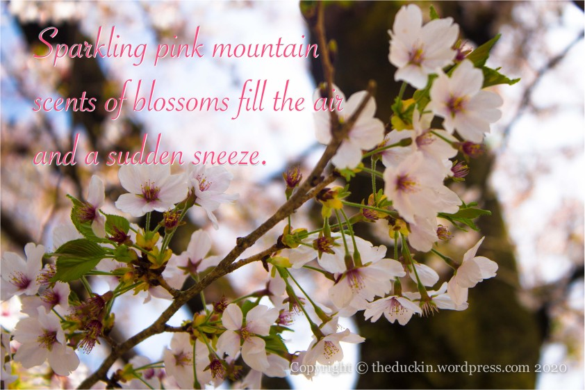 Sparkling pink mountain, scents of blossoms fill the air, and a sudden sneeze.
